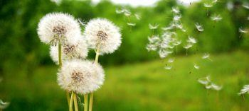 Dandelion-Weed-Control